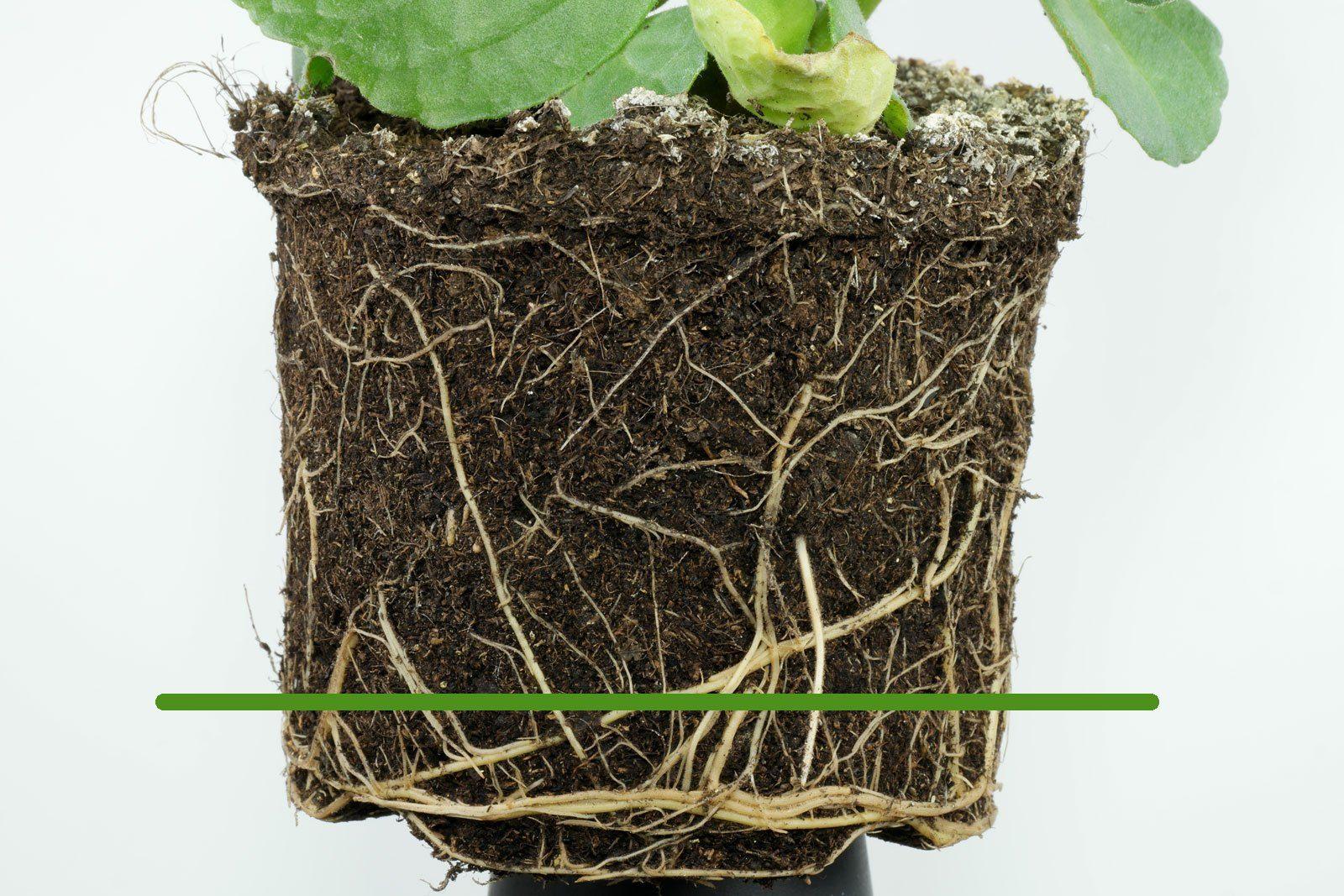 Verpiss-dich-Pflanze gießen