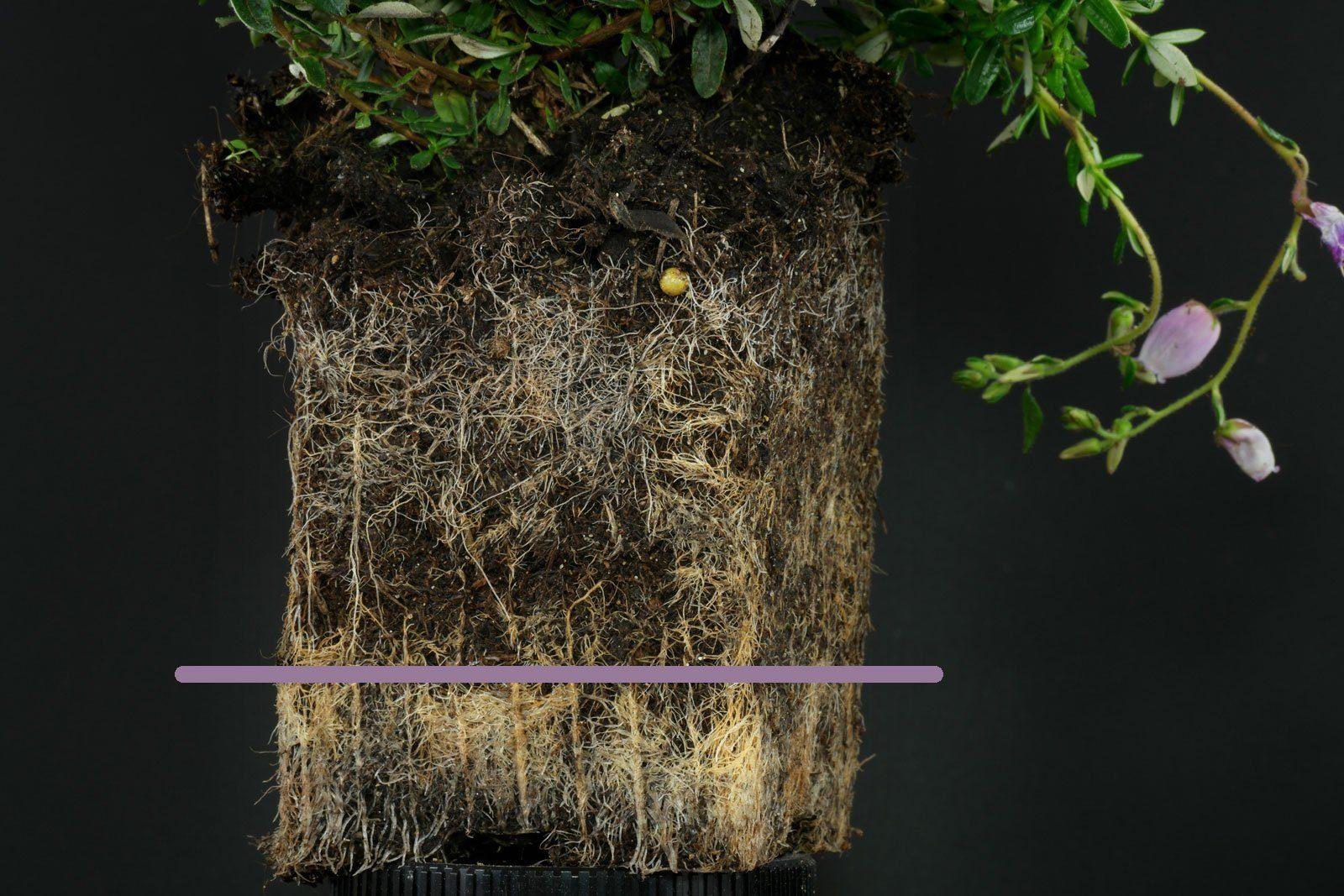 Daboecia cantabrica gießen