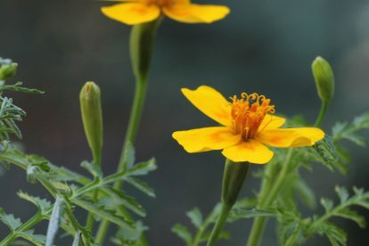 Tagetes filifolia