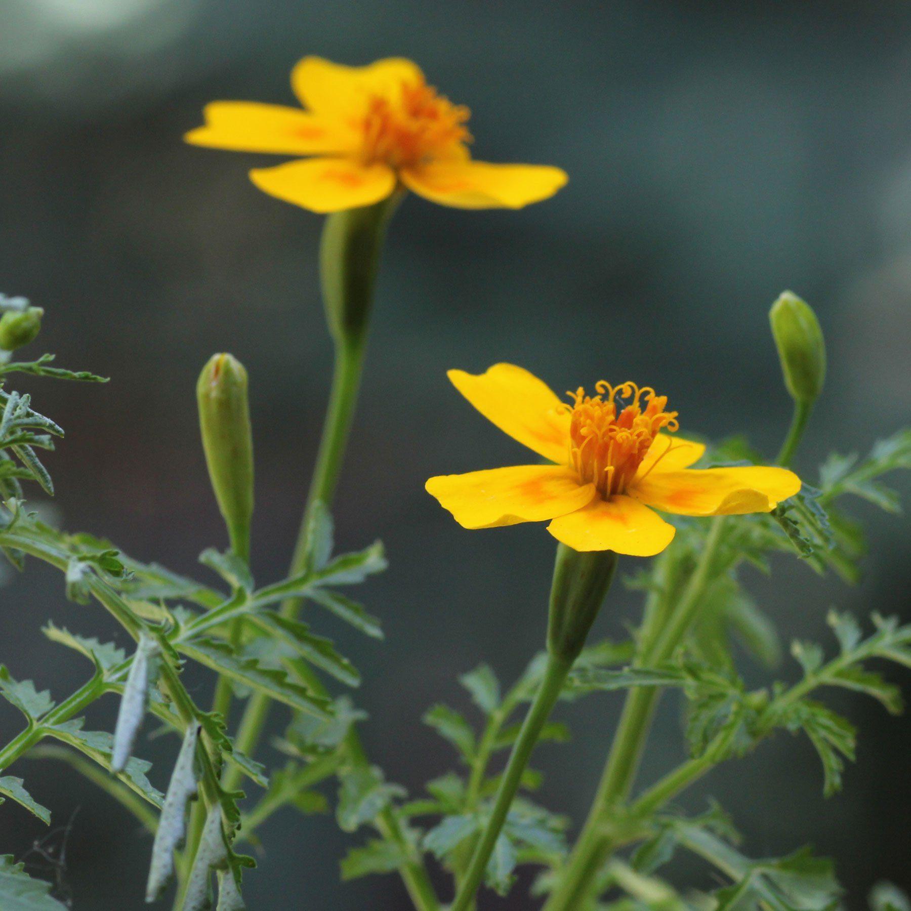 Tagetes filifolia