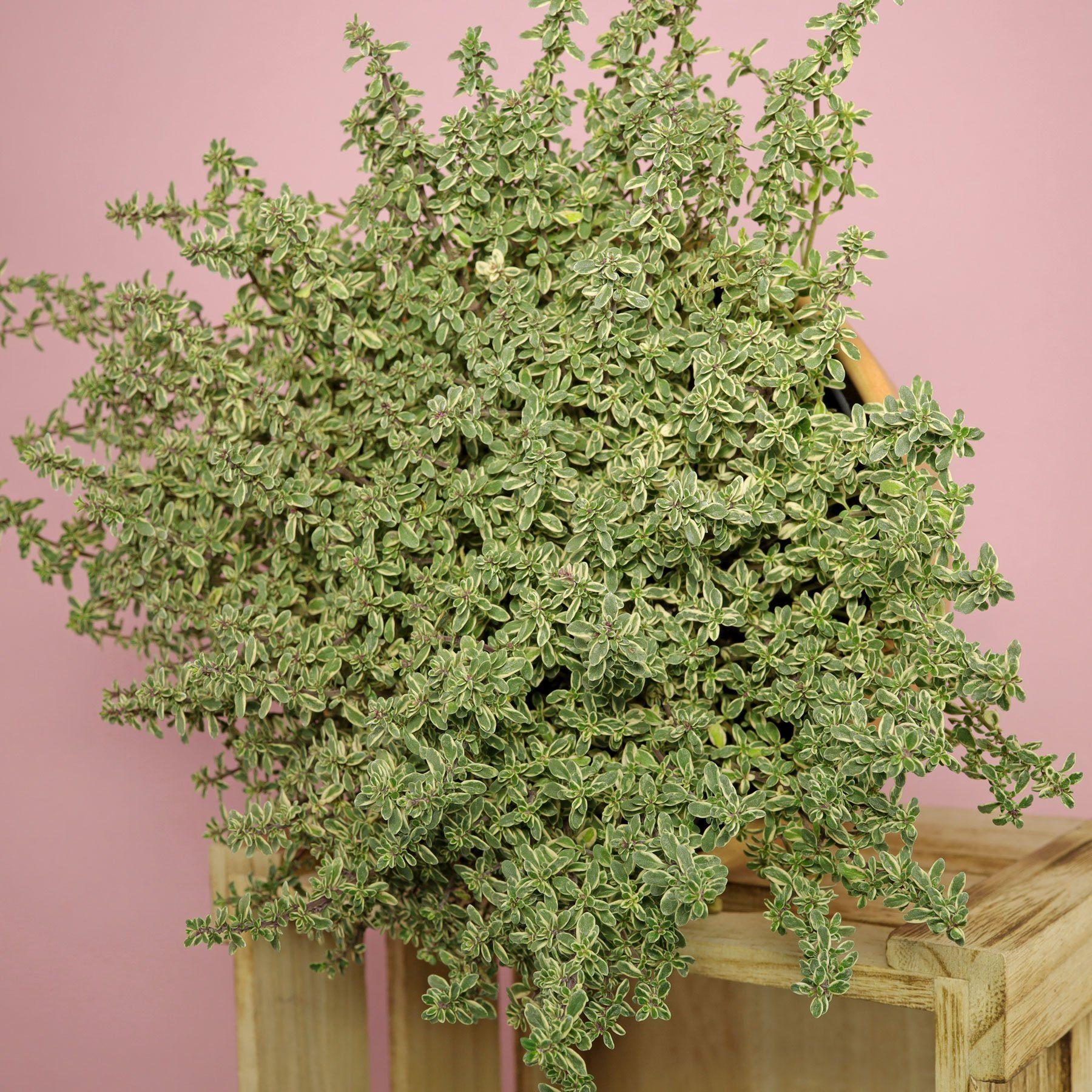 Thymus citriodorus Variegata