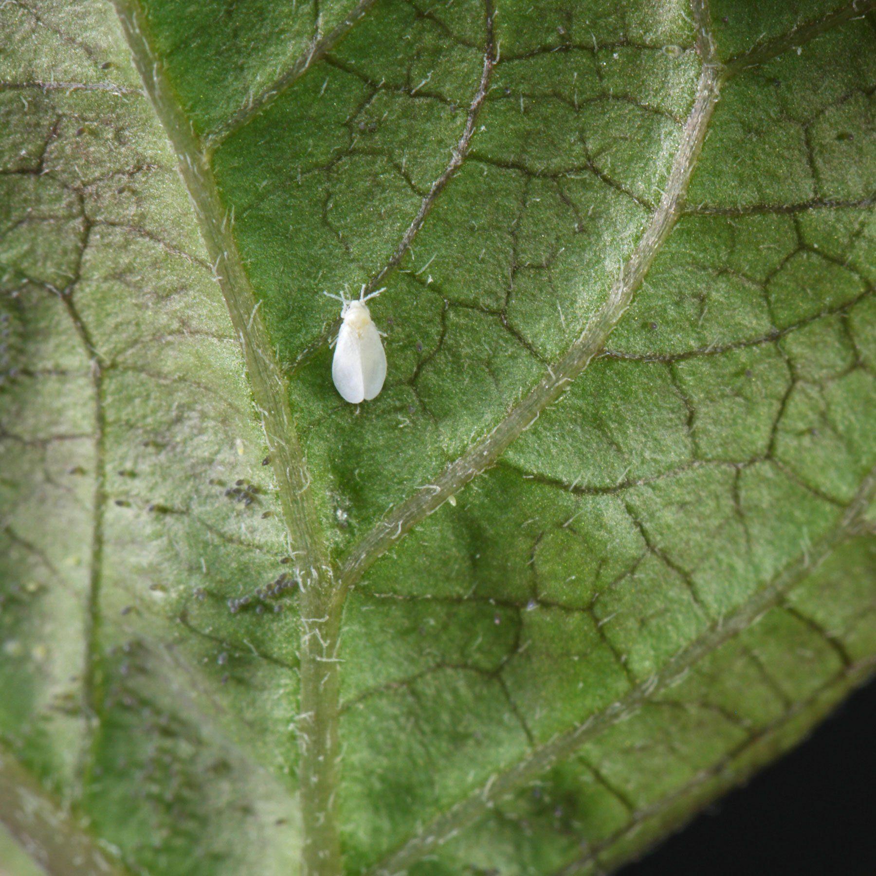 Weiße Fliege auf Parakresse